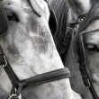 Stock Photo: Carriage Horses