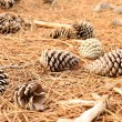 Fir Cones on the ground — Stock Photo