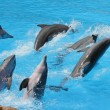 A group of  bottlenose dolphins ( Tursiops truncatus) - Stock Photo