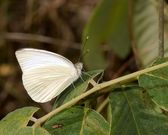 Great Southern White Butterfly — Stock Photo