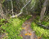 Selva de Buttonwood — Fotografia Stock