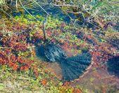 Anhinga 在水之下anhinga under vatten — Stockfoto