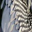 Stock Photo: Anhingfeathers close up