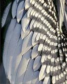 Anhinga feathers close up — Stock Photo