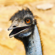 Closeup of an Emu — Stock Photo