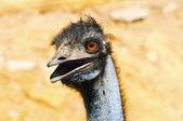 Closeup of an Emu — Stock Photo