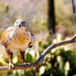 Stock Photo: Ferruginous Hawk