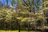 Dogwood Trees in Spring — Stock Photo
