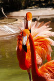 Dos flamencos del caribe — Foto de Stock