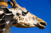 Giraffe — Stock Photo