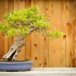 Pomegranate Bonsai Tree Against Wood Fence — Stock Photo