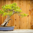 Pomegranate Bonsai Tree Against Wood Fence - Stock Photo