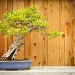 Pomegranate Bonsai Tree Against Wood Fence — Stock Photo