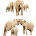 Family of Elephants Isolated — Stock Photo