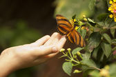 Child Hand Touching an Oak Tiger Butterfly on Flower — Stock Photo
