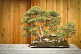 бонсай вяз дерево лес против деревянный забор — Стоковое фото