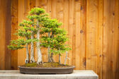 Bald Cypress Bonsai Tree Forest Against Wood Fence — Stock Photo