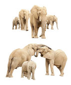 Family of Elephants Isolated — Stock Photo
