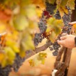 Farmer Inspecting His Ripe Wine Grapes - Stock Photo