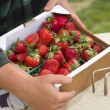 Farmer Gathering Fresh Strawberries in Baskets - Stock Photo