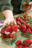 Farmer Gathering Fresh Strawberries in Baskets — Stock Photo