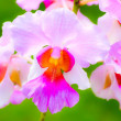 Veautiful pink orchids with diffused green background — Stock Photo #8479693
