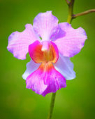 Veautiful pink orchids with a diffused green background — Stock Photo