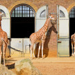 Giraffes at the London Zoo in Regent Park — Stock Photo