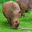 Stock Photo: Wild rhinoceros grazing