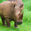 Stock Photo: Rhinoceros grazing on a green field