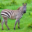 Stock Photo: Zebras on green savanna