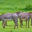 Foto Stock: Zebras on green savanna