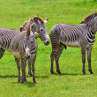 Foto Stock: Wild zebras on green savanna
