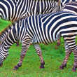 Wild zebras on green savanna — Foto Stock #8482831