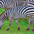 Stock Photo: Wild zebras on green savanna