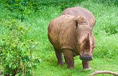 Rhinoceros grazing on a green field — Stock Photo