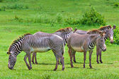 Zebras on a green savanna — Stock Photo