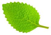 Green lef of oregano — Stock Photo