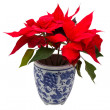 Christmas Flower — Stock Photo #8291861