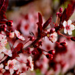 Pink Cherry Blossoms in Spring — Stock Photo #10372677