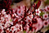 Roze kersenbloesem in de lente — Stockfoto