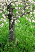 Fleurs de printemps sur l'arbre — Photo
