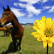 Horses in Field with Yellow Spring Flower — ストック写真