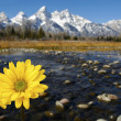 Stock Photo: Grand Tetons in spring with yellow flowers