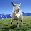 Alpine Goat — Stock Photo #8186335