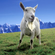Alpine Goat - Stock Photo