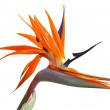 Bird of paradise flower — Stock Photo #8186338
