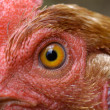 Chicken eye — Stock Photo