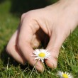 Daisy picking — Stockfoto