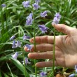 Stock Photo: Holding bluebells